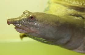 Tartaruga asiatica:elimina urina dalla bocca