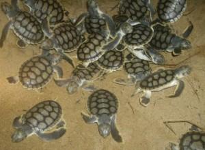 flatback turtles australiane