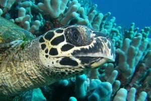 hawksbill turtle embricata