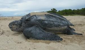 leatherback turtle liuto